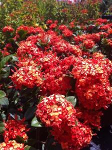 Red/Orange Ixora